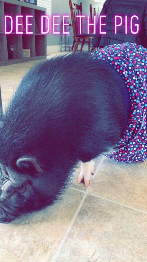 Dee Dee the Pig // Owner: Hila Daniel